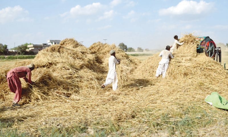 Agricultural workers thresh wheat crop in Tando Allahyar in this file picture.—Photo by Umair Ali