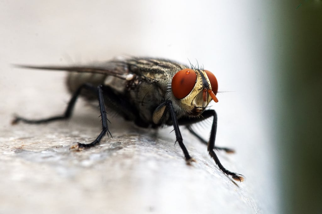 Flesh Fly, Family: Sarcophagidae, Order: Diptera —Their salient features are stripes on the back and reddish-orange eyes. Flesh flies and their larvae are also known to eat decaying vegetable matter and excrement. They may be found around compost piles and pit latrines, so their main job description is that of sanitation.