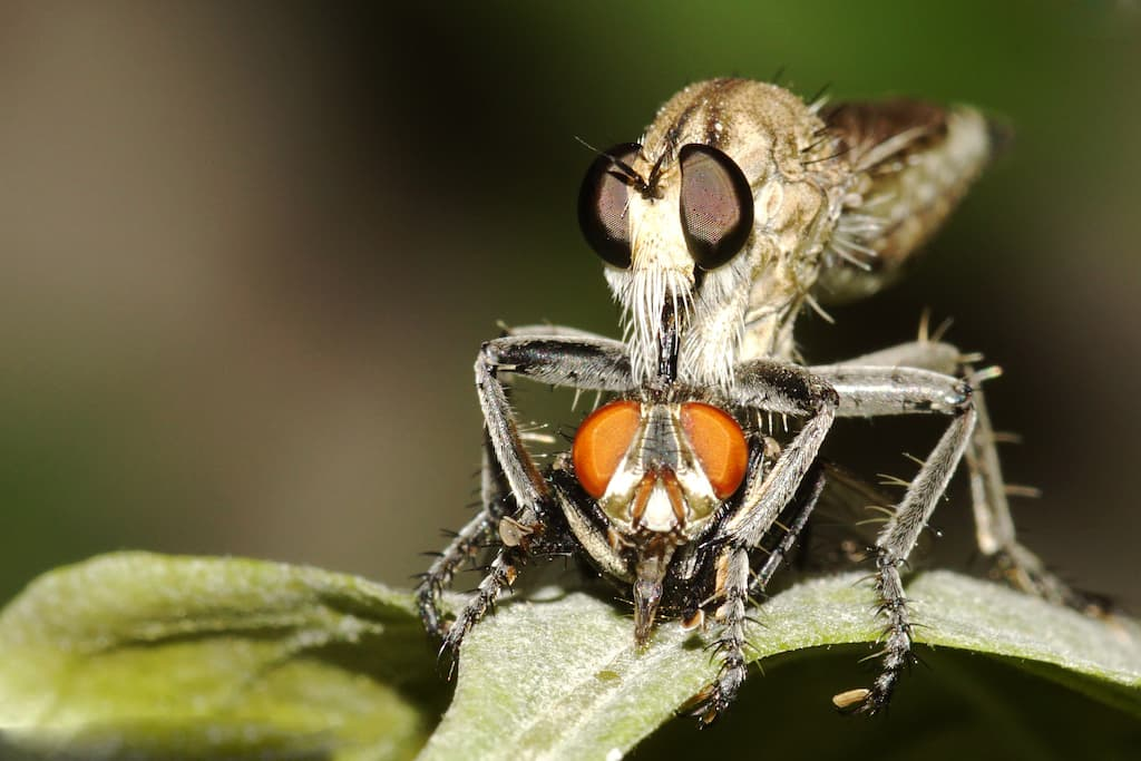 Robber Fly (also Assassin Fly), Family: Asilidae, Order: Diptera —They are predatory medium-sized flies that attack and eat other insects mainly small flies and hence performs an important role in the ecological stability.