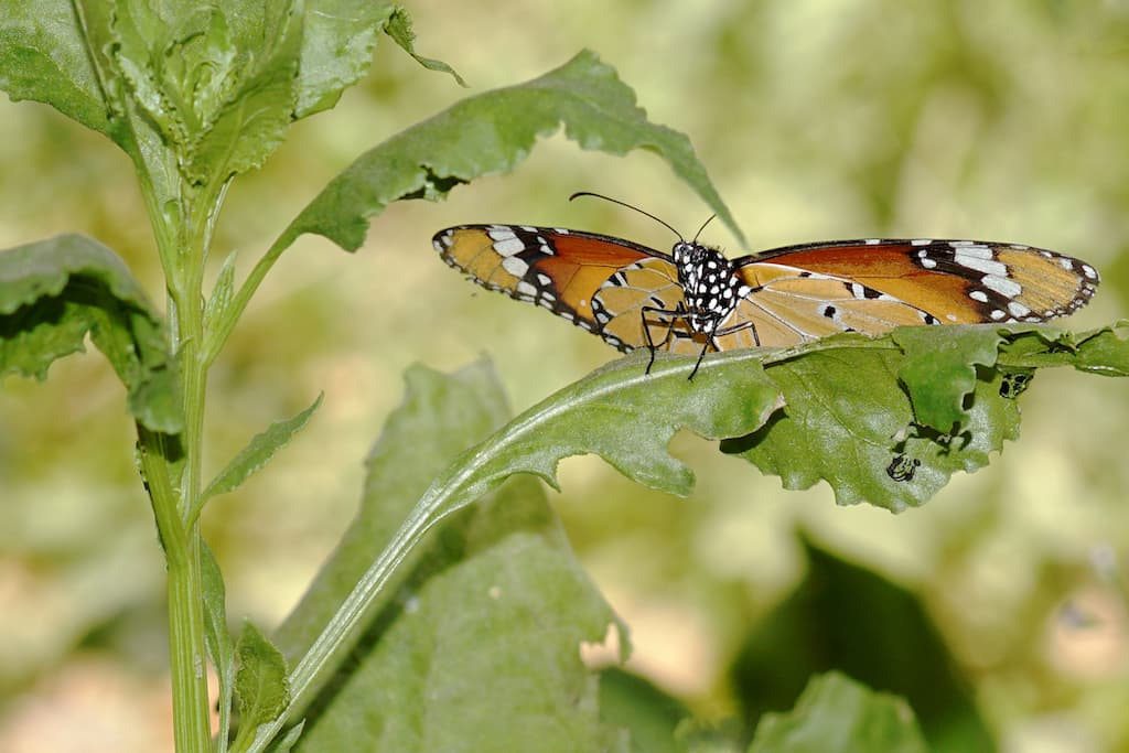 Plain Tiger Butterfly, (also Danaus Chrysippus), Family: Nymphalidae, Order: Lepidoptera —Apart from their natural work of pollination, butterflies add variety, and colour to a soothing environment. They are common visitors to gardens and human settlements where there are a variety of flowers to get nectar from.