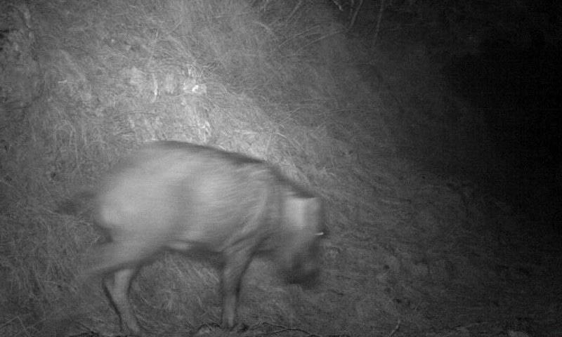 A picture of a wild boar captured on camera traps installed by WWF-Pakistan to monitor movement of leopards in Galliyat. — Photo courtesy: WWF-Pakistan