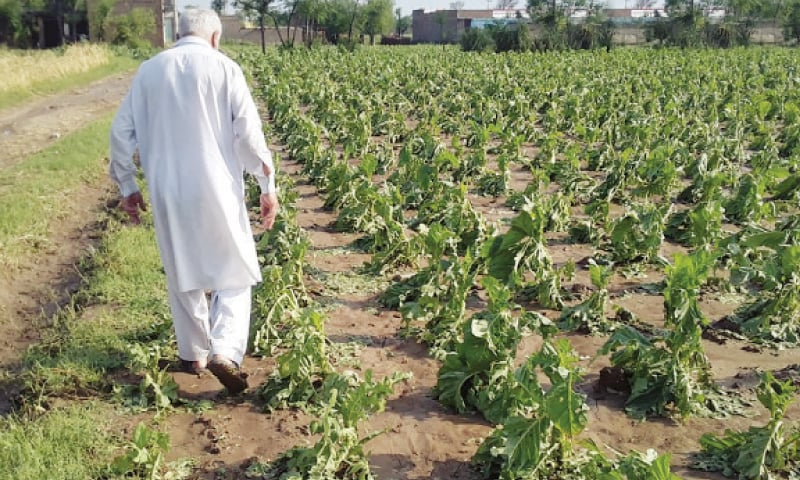 A farmer examines his tobacco crop destroyed by hailstorm in Swabi. — Dawn