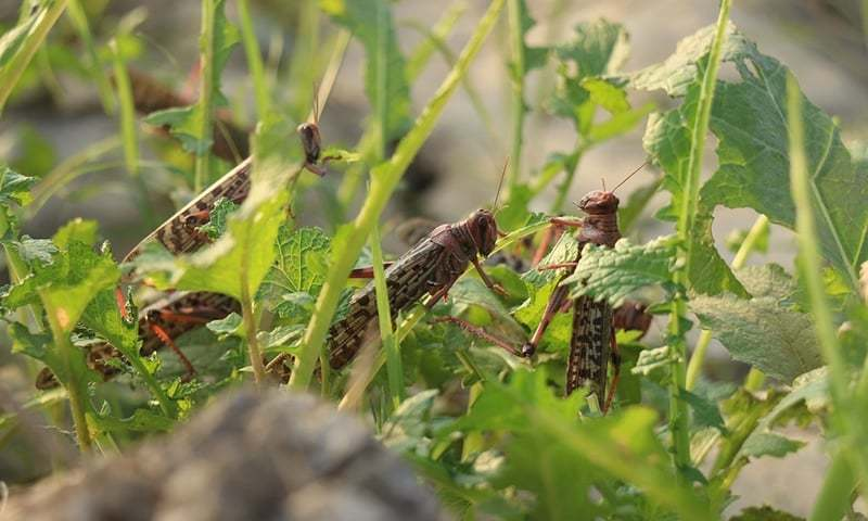 Huge swarms of locusts start playing havoc with crops in more Sindh areas
