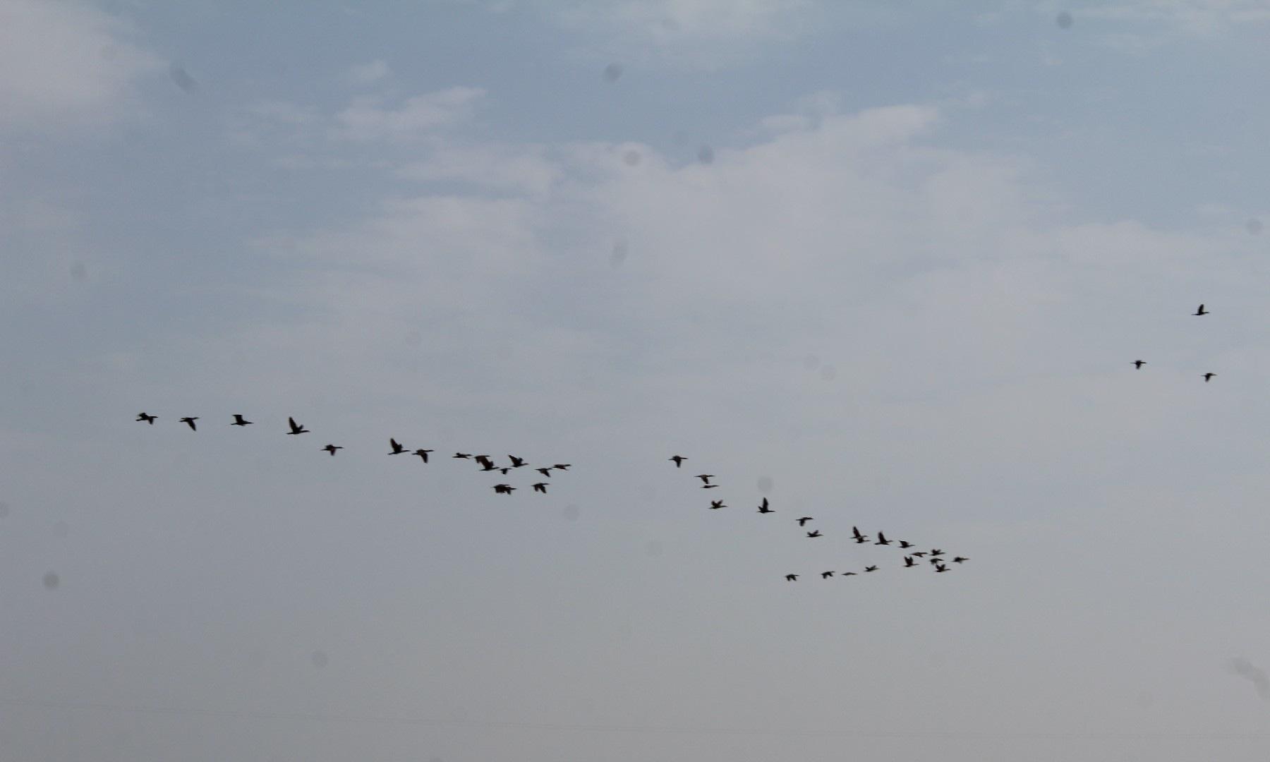 جھیل کے اوپر پرواز بھرتے پرندے—ابوبکر شیخ