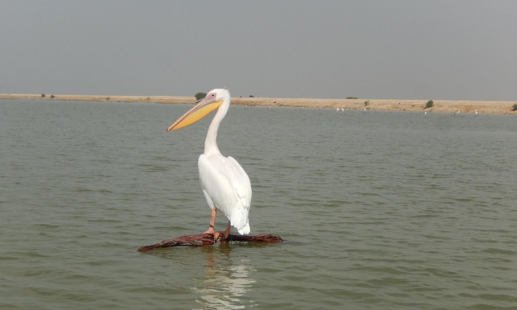 جھیل کی سطح پر نظر آنے والے سارے پرندے بندھے ہوئے تھے—ابوبکر شیخ