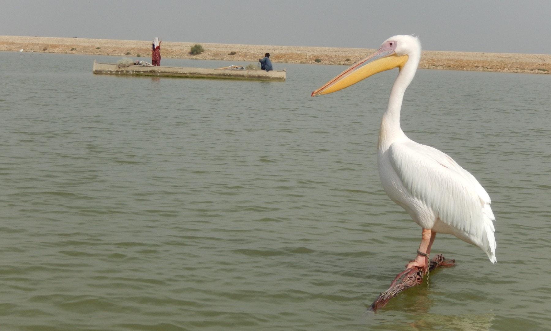 جھیل پر پرندے یوں بے پرواہ کیوں بیٹھے تھے؟