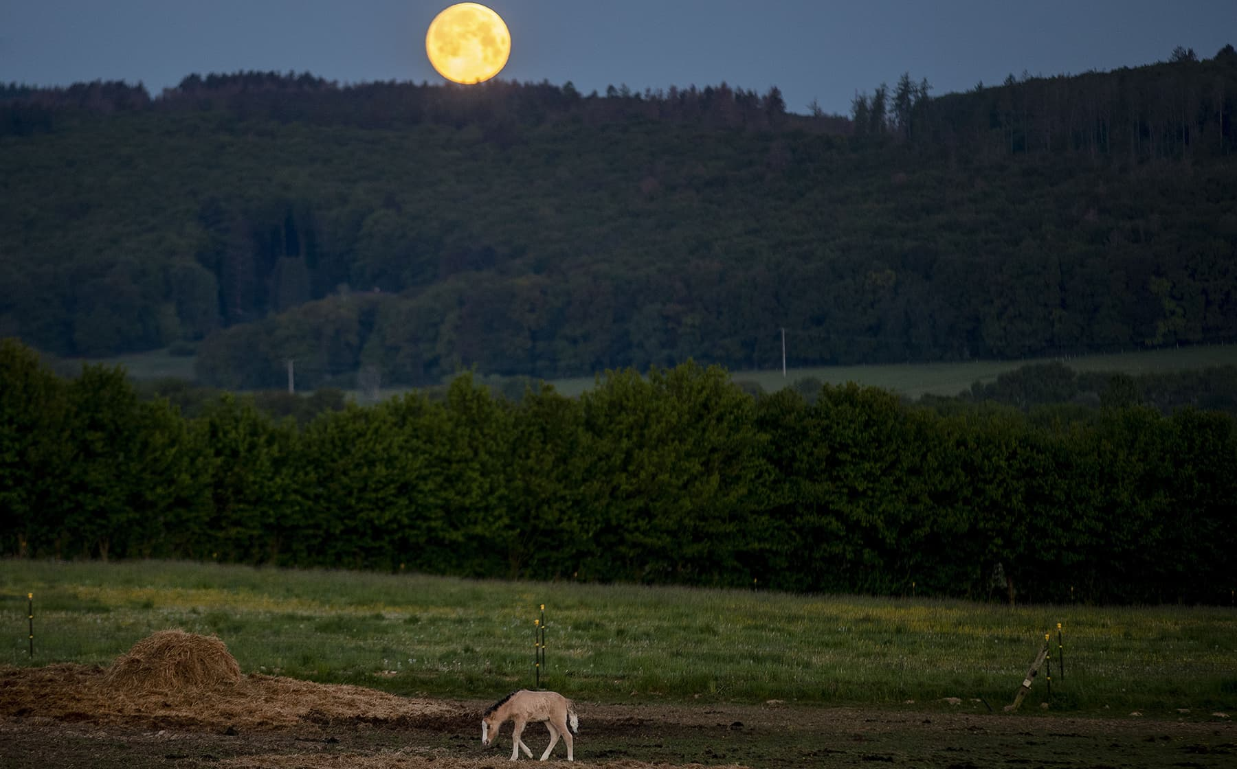A foal stands in its paddock at a stud farm in Wehrheim near Frankfurt, Germany, as the full moon sets Thursday. — AP