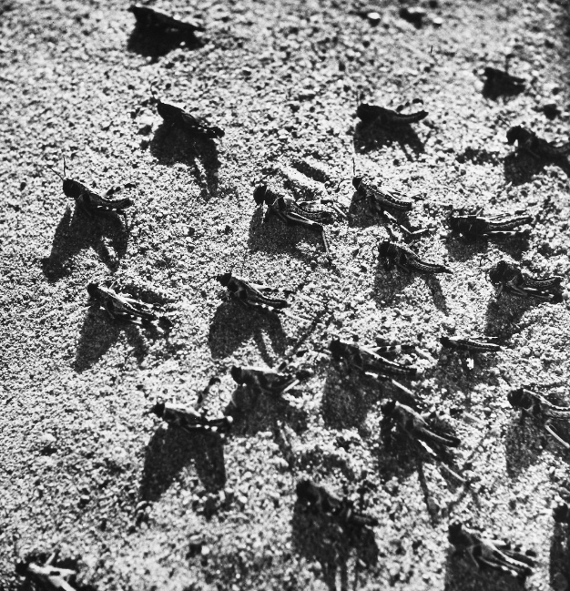 Locusts in Pakistan. Photographed 1952. — Alamy
