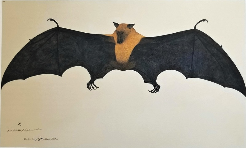 Bhawani Das, 'A Great Indian Fruit Bat or Flying Fox', Impey album, Calcutta, 1778-82 (Private Collection)
