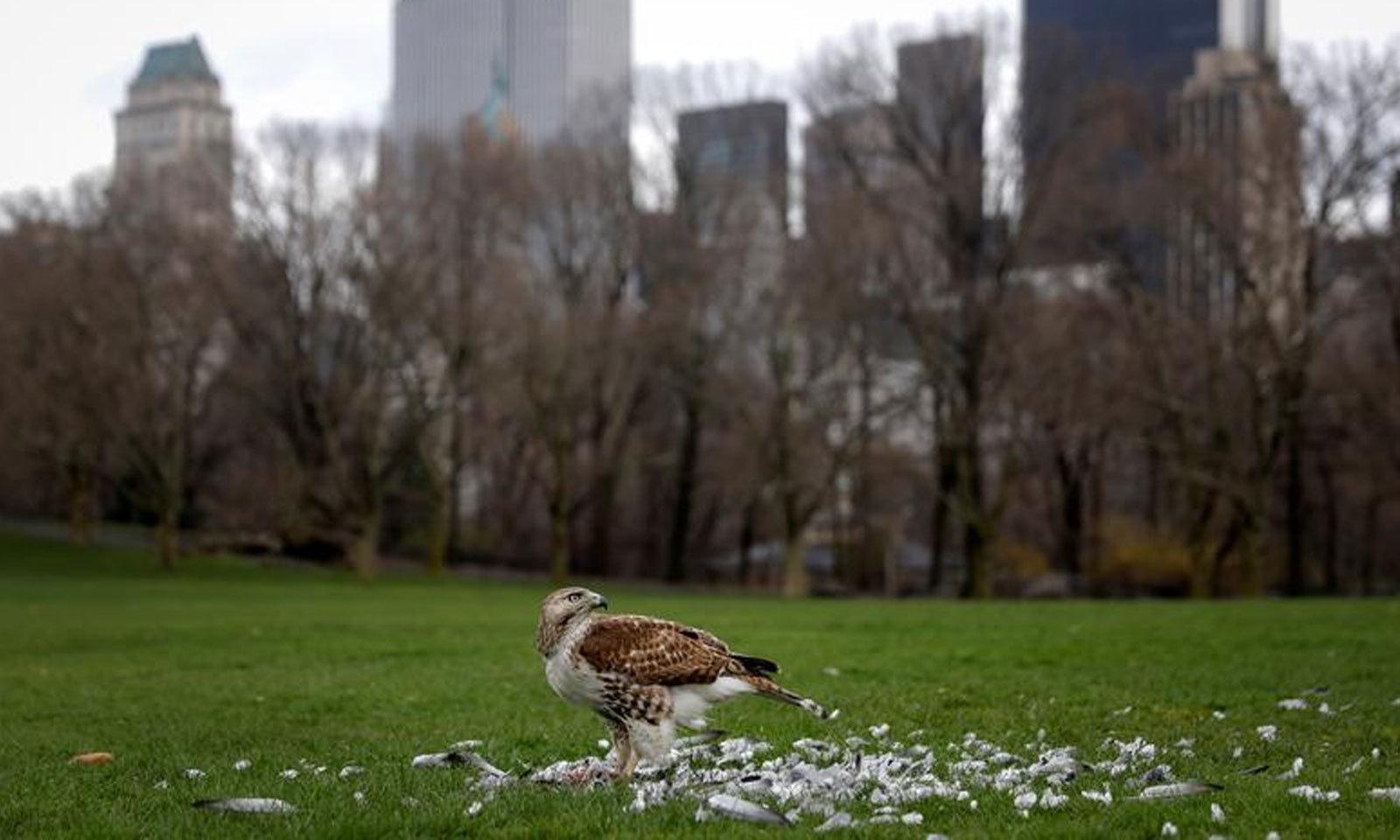 نیویارک  شہر کے سینٹرل پارک میں ایک باز کھانے سے لطف اندوز ہورہا ہے —فوٹو: رائٹرز