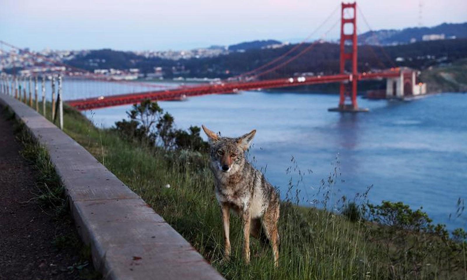 امریکی بھیڑیا سان فرانسسکو میں گولڈن گیٹ بریج ویو پر کھڑا نظر آرہا ہے  —فوٹو: رائٹرز