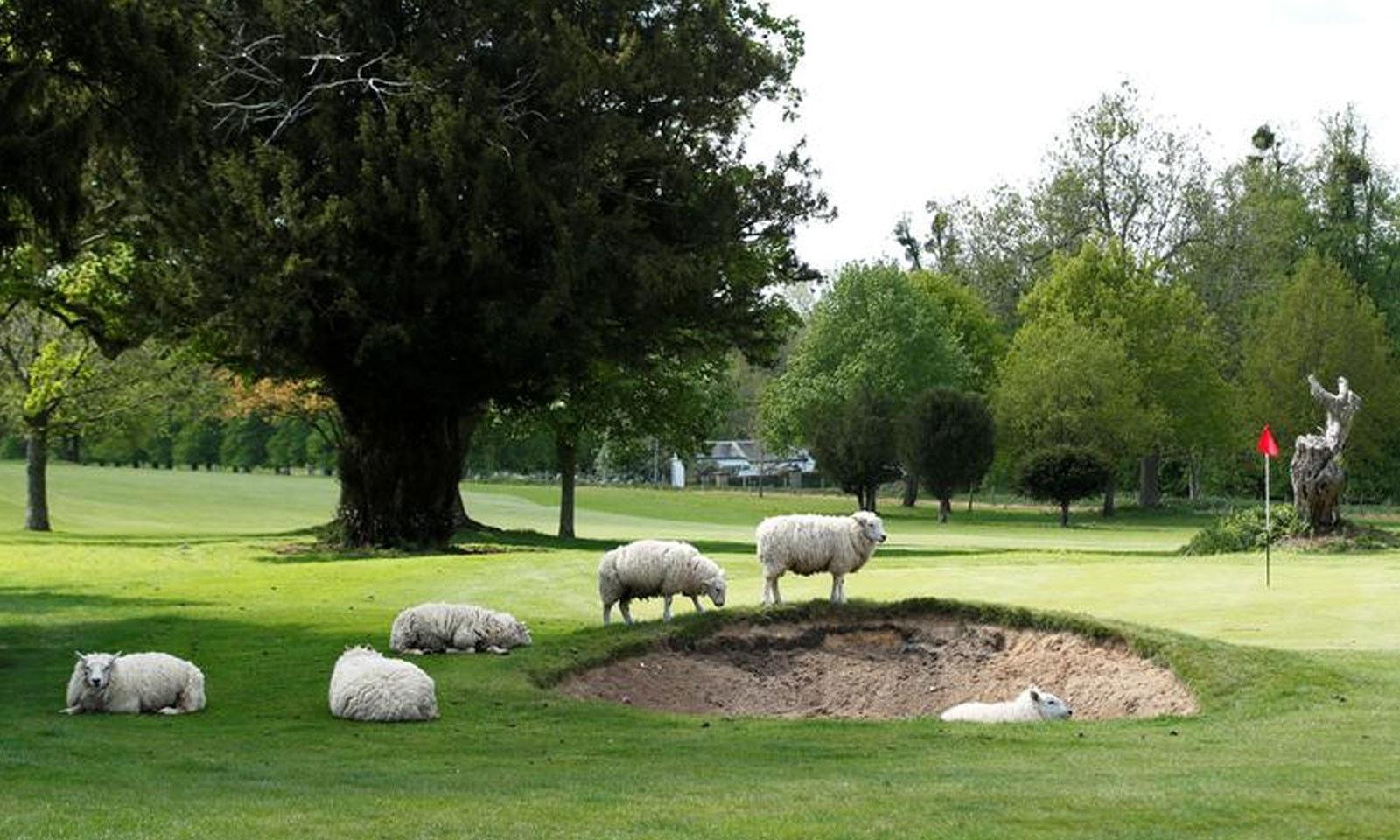 برطانیہ کے ایونگٹن پارک میں بھیڑیں گھاس چررہی ہیں —فوٹو: رائٹرز