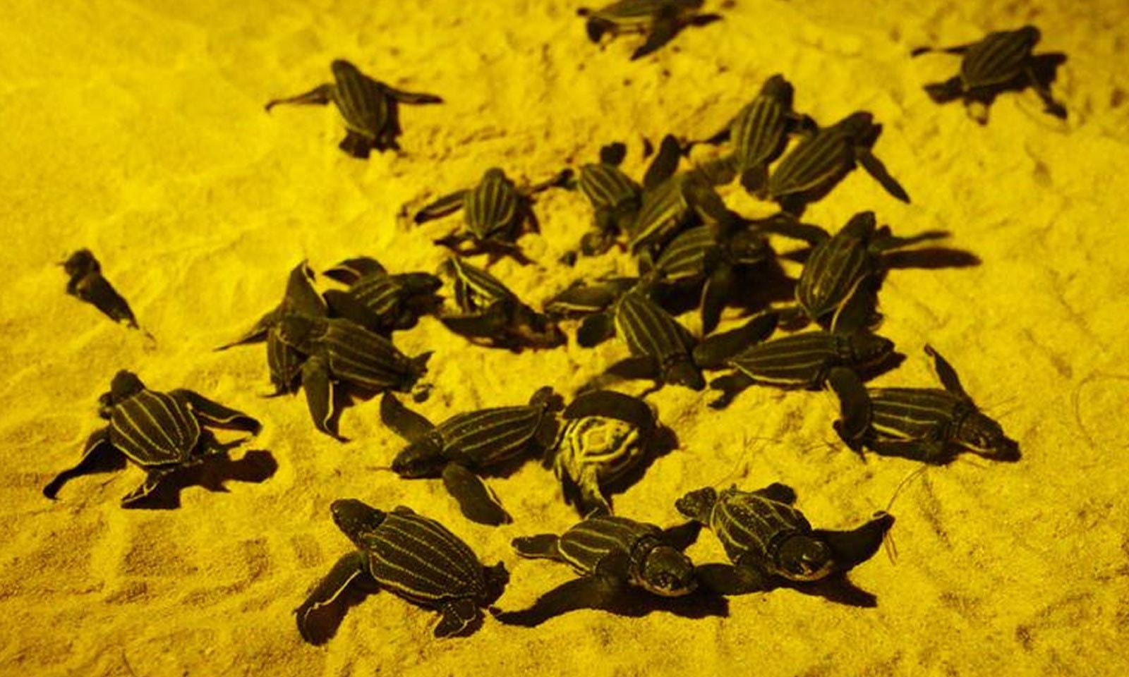 تھائی لینڈ کے ساحل پر انڈوں سے نکلنے والے نوزائیدہ کچھوے سمندر کا رخ کررہے ہیں—فوٹو: رائٹرز