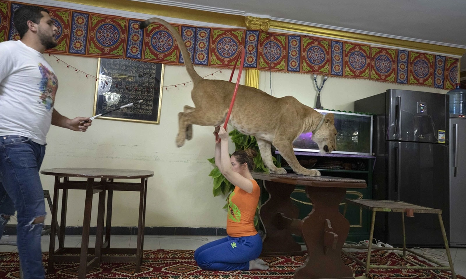 مصر میں 5 سالہ افریقی شیرنی گھر میں کرتب دکھارہی ہے —فوٹو: اے پی