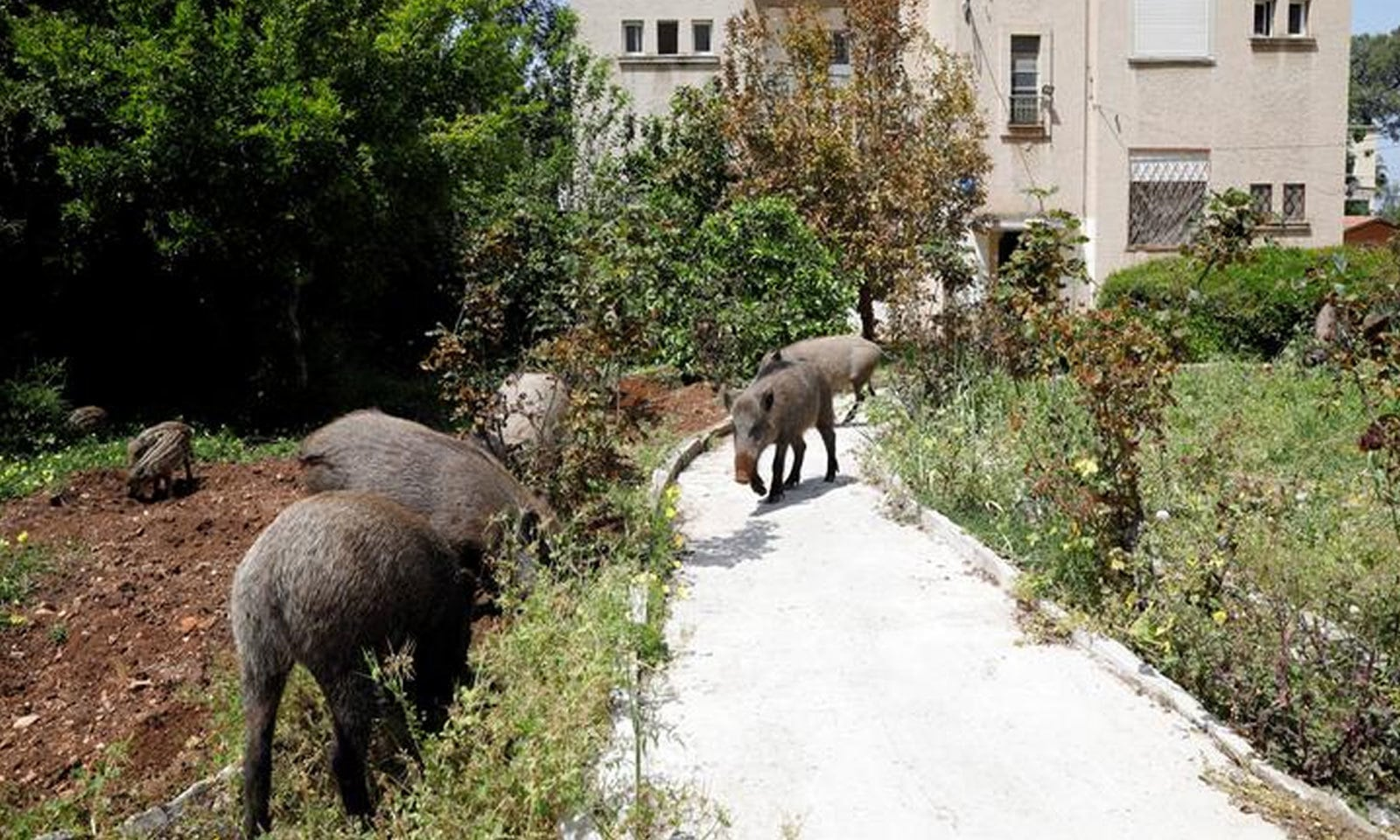 شمالی اسرائیل میں جنگلی سور عمارت کے باہر موجود ہیں—فوٹو: رائٹرز