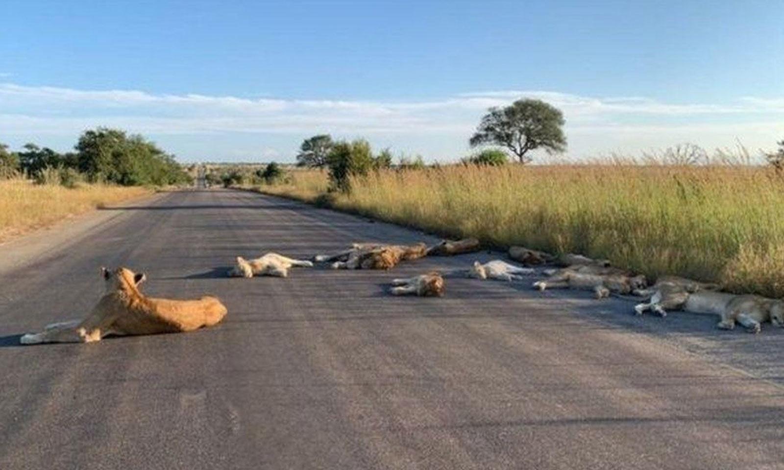 جنوبی افریقہ میں عام دنوں میں مصروف رہنے والی سڑک پر شیر سورہے ہیں —فوٹو: ٹوئٹر