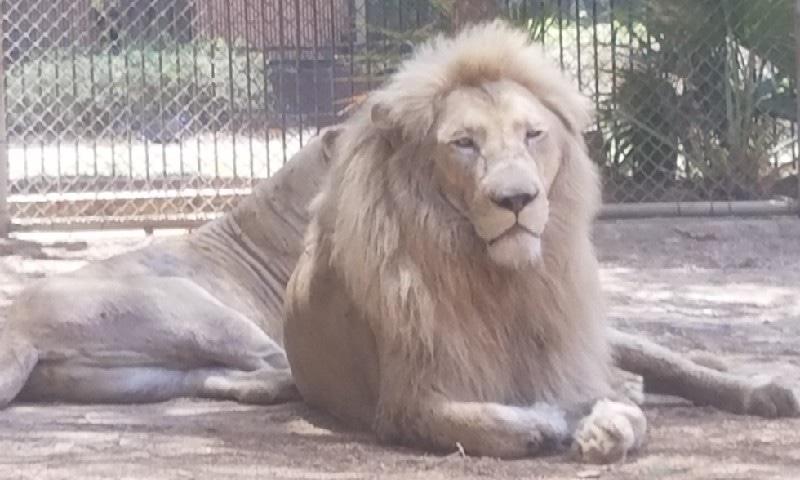 سفید شیروں کا پنجرہ
