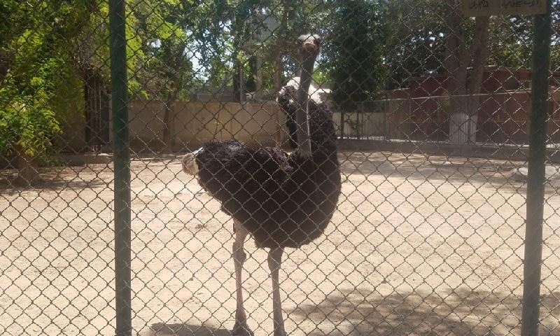 شتر مرغ کا پنجرہ