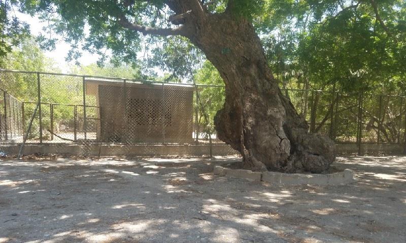 چڑیا گھر کا ایک پرانا درخت