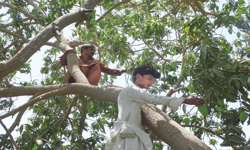 PERCHED on a tree, two workers are busy plucking mangoes.—Photo courtesy of Research and Development Foundation