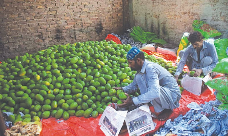 UNRIPE mangoes being packed in a fruit market in Hyderabad. — Umair Ali