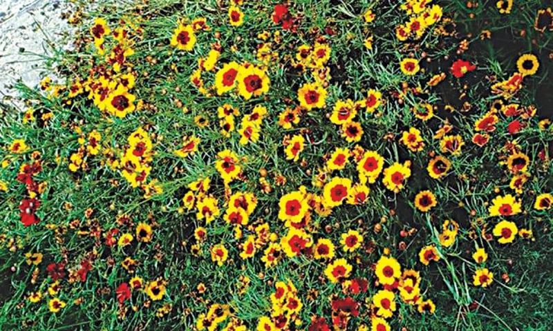 Coreopsis | Photos by the writer