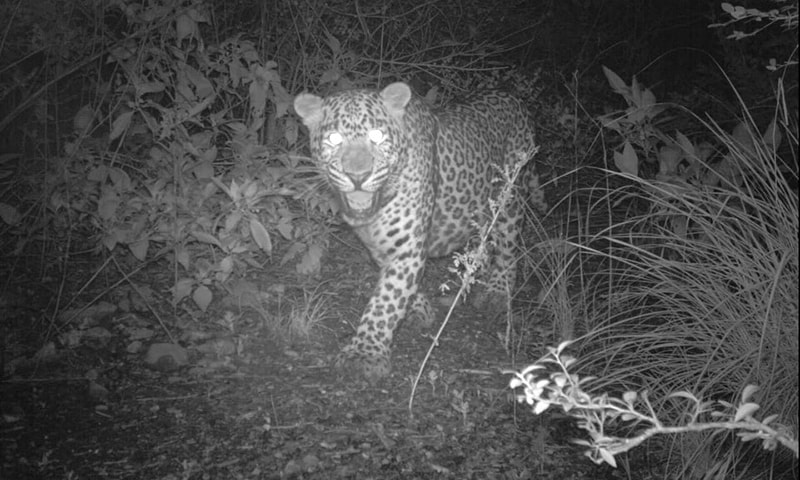 Islamabad's normally reclusive leopards have been roaming onto deserted pathways. — Photo courtesy: IWMB