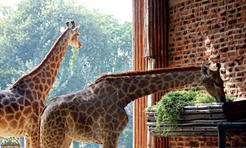Zoo's director says that diarrhea might be the main cause of the animal's death. — Dawn/File