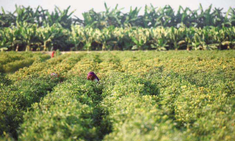Lower crop yield is mainly due to a decline in sowing area and climatic changes. — Dawn/File