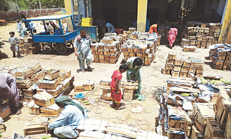 WORKERS pack mangoes in wooden boxes at a warehouse in Mirpurkhas.—Dawn