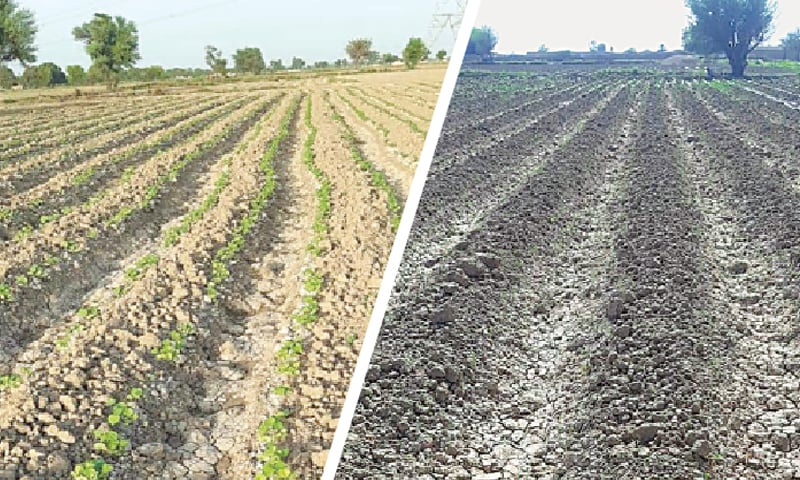 A field in Punjab, before and after the locust attack.