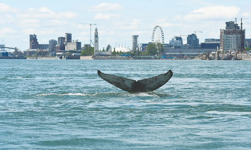 MONTREAL: The tail of a humpback whale swimming near Montreal on Sunday.—AFP