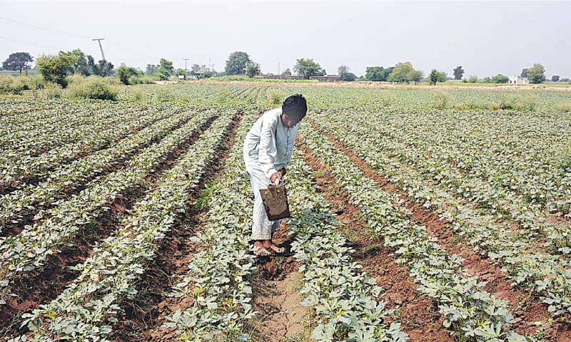 FAISALABAD: A farmer works in his field. The government has announced a pro-farmer package while the agriculture sector is targeted to grow by 2.9 per cent next year.—APP