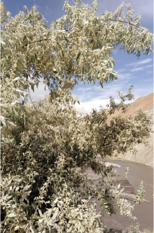 A Russian olive tree in Warijun village of Upper Chitral. — Dawn