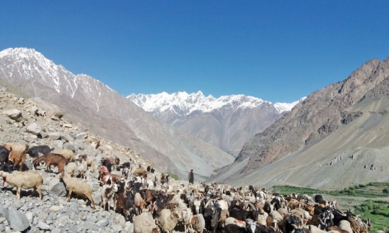 A herd of sheep grazes in Upper Chitral. — Dawn