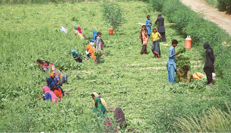 FARMERS reap their produce in the rural area of Latifababad (Hyderabad) on Sunday as the district is declared vulnerable to locust attack.—Dawn