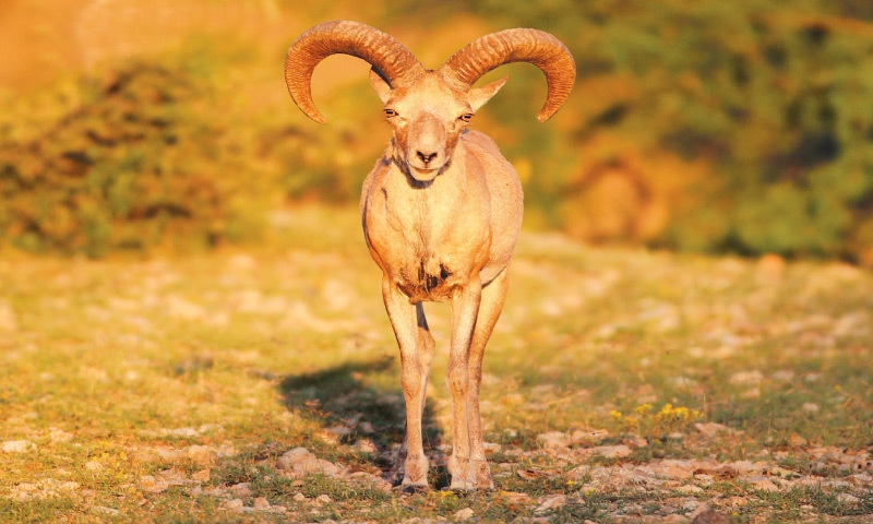 A young urial stands alert on a mountain peak in the Salt Range | Babar Bukhari