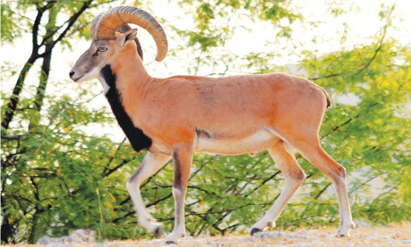 The majestic Punjab urial has large horns and a reddish-brown coat that fades in colour during winters. The average size of the male urial's horns is between 24 - 26 inches | Babar Bukhari