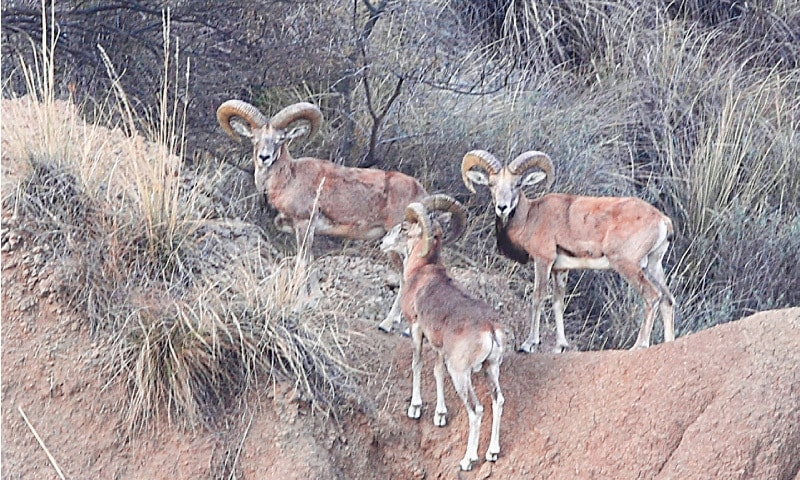 Recently, only small herds of no more than four or five sheep could be spotted even in the sprawling wildlife sanctuary of Chumbi Surla in Khushab district | Kamran Hussain Shah