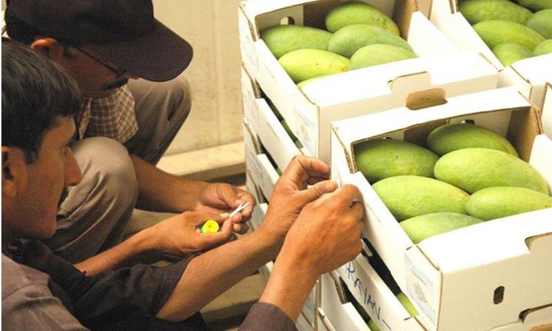 Freight rates are expected to be lower for export of mangoes to Manchester, London and Frankfurt. — Dawn/File