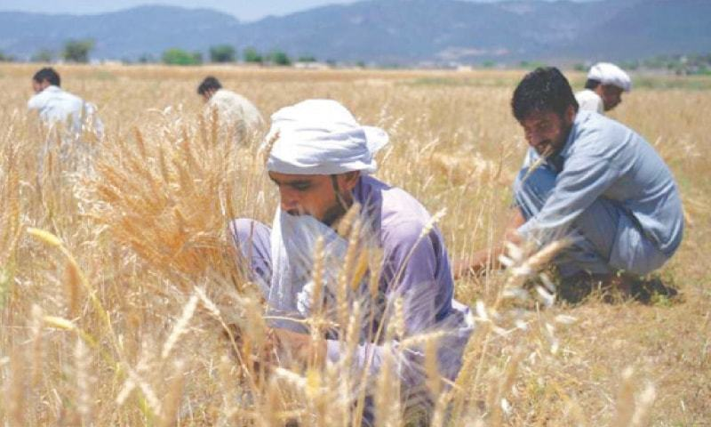 Federal minister said 25 million tons of wheat was produced this year against the target of 27m tons. — Dawn/File