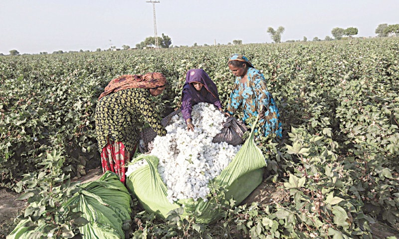 Harsh weather, locust attacks and water shortages have affected cotton crop production which has seen a decline over past few years.—File photo