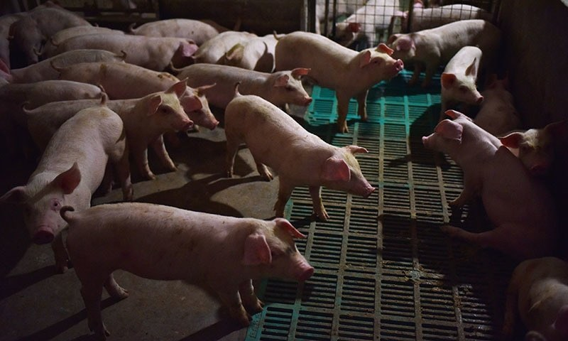 "This file photo taken on August 10, 2018 shows piglets standing in a pen at a pig farm in Yiyang county, in China's central Henan province. A team of Chinese researchers looked at influenza viruses found in pigs from 2011 to 2018 and found a ""G4"" strain of H1N1 that has ""all the essential hallmarks of a candidate pandemic virus. — AFP/ File"