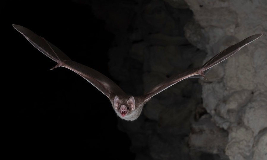 A common vampire bat (Desmodus rotundus) flies during its nocturnal hunt in Belize in this handout photo released on February 20, 2018. — Reuters