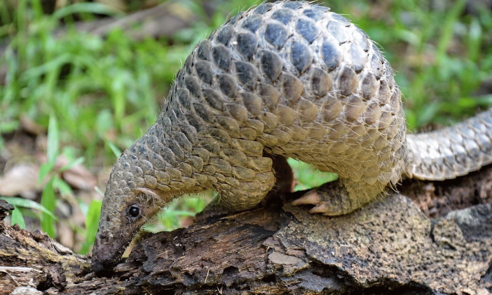 "In this file photo taken on June 30, 2017, a juvenile Sunda pangolin feeds on termites at the Singapore Zoo. The endangered pangolin may be the link that facilitated the spread of the novel coronavirus across China, Chinese scientists said on February 7, 2020. Researchers at the South China Agricultural University have identified the scaly mammal as a ""potential intermediate host,"" the university said in a statement, without providing further details. — AFP"