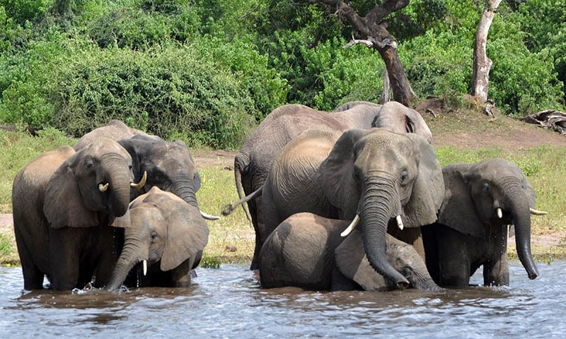 In this March 3, 2013 photo elephants drink water in the Chobe National Park in Botswana. — AP/File