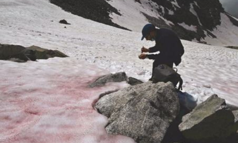 PELLIZZANO (Italy): Biagio di Maio, a researcher at the National Research Council, takes samples of Pink-coloured snow at the top of a  glacier. The pink colour of the snow is supposedly due to the presence of colonies of algae .— AFP