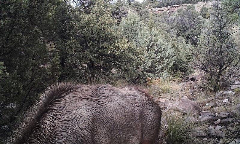 اس تصویر میں چھپے پہاڑی شیر کو تلاش کرسکتے ہیں؟