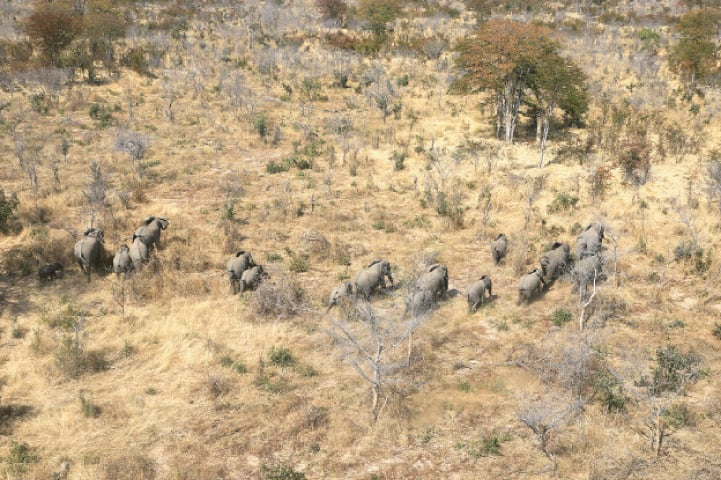 SERONGA: A herd of elephants walk through the bush in Botswana's Okavango delta.—Reuters
