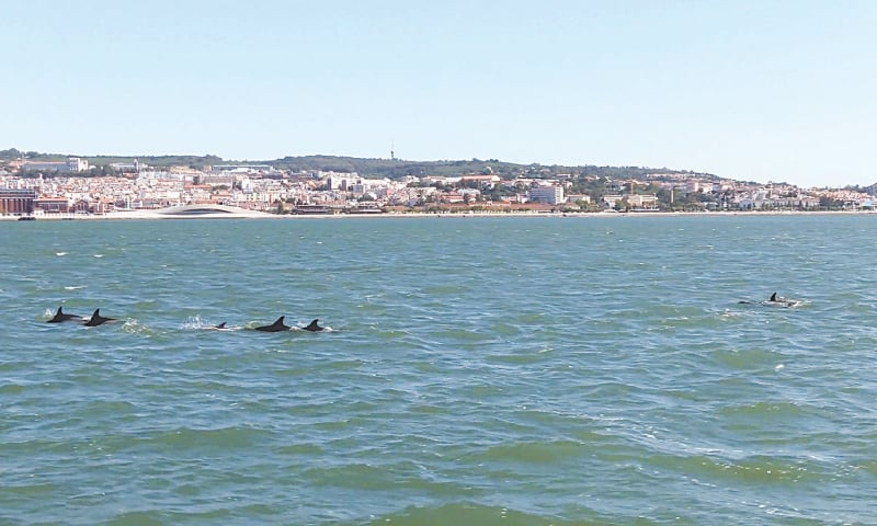 LISBON (Portugal): Dolphins swim in the Tagus River, near Lisbon, in this still image obtained from a social media video.—Reuters